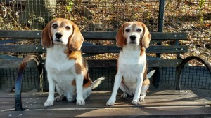 My Brother's Beagles, Luke and Leia